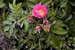 Wild Rose, Rosa virginiana;
